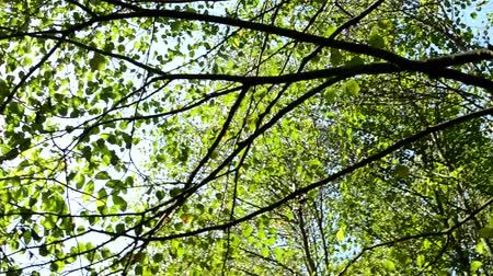 coroa : view of the crowns of deciduous trees in the forest - sun shines through the crowns - close up