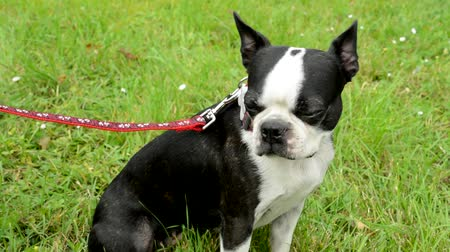 garça : woman tack leash french bulldog in the park - dog sits Stock Footage