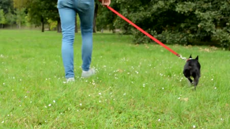 garça : french bulldog sits on the ground with leash then walk with young attractive woman
