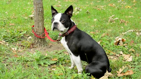 garça : french bulldog attach to the tree with leash in the park - dog sits and waits for the owner Stock Footage