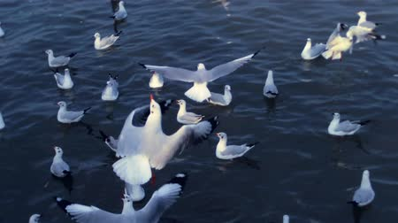 gaivota : Seagulls suddenly swoop down in dark indigo sea .While more seagulls swim in ripples.