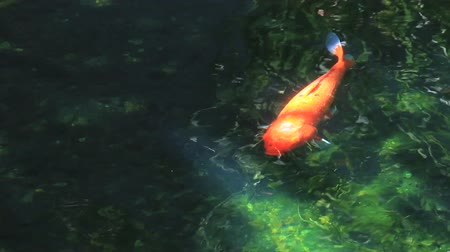 fish farm : Koi Japan Fancy Carp footage.Koi swimming in rapid stream water.Water is reflection of light.