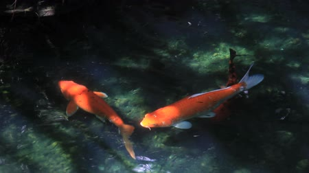 japan : Koi or Japan Fancy Carp footage.Koi swimming in rapid stream water.Water is reflection of light. Stock Footage