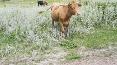 cow flies : The cow is standing in the grass on a sunny morning, looks ahead and banishes the flies a tail Stock Footage