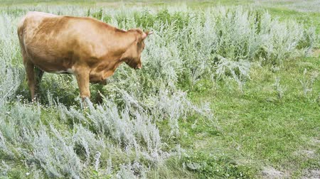 cow flies : The bull is standing in the grass on a sunny morning, worries and banishes the flies a tail