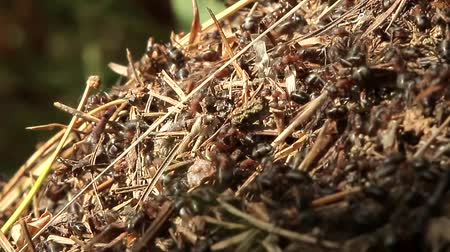 hierarchy : Ants - social insects that build public housing. Forest anthill.