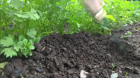 agricultores : manual rake bed with parsley loosens and bores