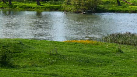 louka : Spring in the middle of nature. Riverside. Flowering wild yellow flowers. Dostupné videozáznamy