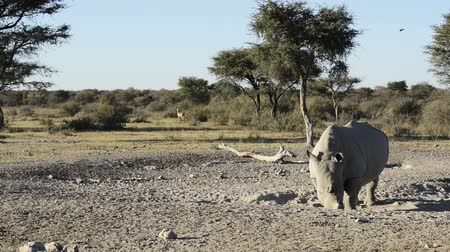 safari animals : African White Rhinoceros or Square-lipped Rhinoceros Ceratotherium simum on safari with Impala and birds in high definition panning footage Stock Footage