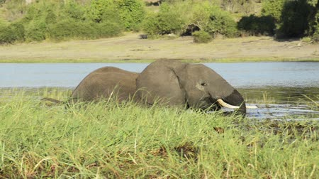 safari animals : Large African elephant moving through the Chobe River while on safari in Botswana, Africa in high definition footage Stock Footage