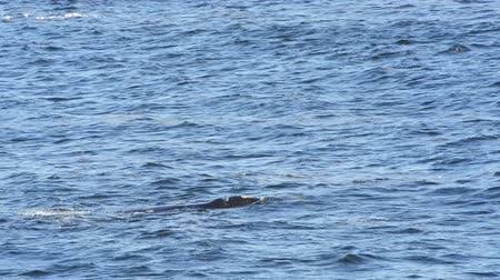 wieloryb : Southern Right Whale playing in the waters around Hermanus, South Africa in high definition footage Wideo