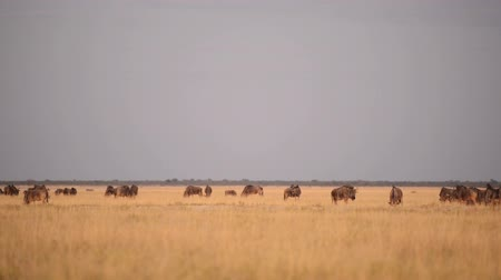 safari animals : Wildebeests, also called gnus or wildebai, on the plains of Botswana, Africa at dusk in high definition footage