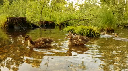csaj : Close up of young duck chicks swimming in water large group of wild birds.Duck with ducklings on walk floating, Ducks on water in city park pond.