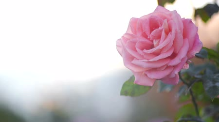 open blossom : Pink rose on a soft background  Stock Footage