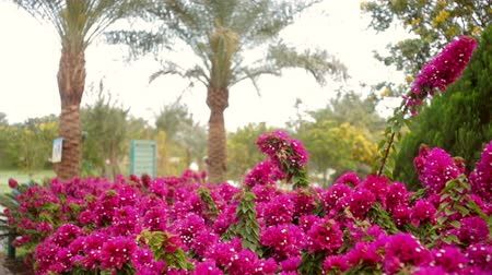 holiday villa : beautiful red flowers and palm trees on the hotel Stock Footage