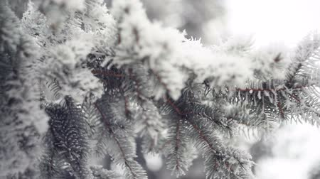 оладья : Snow-covered branch of a pine in winter park. Christmas background