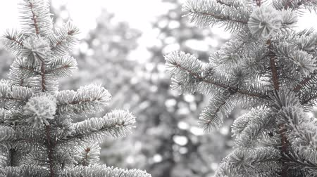 video intro : Winter fir-tree Forest with Snowy Christmas Trees. Snow covered fir trees on a winter day. Winter background. Snow comes in the Christmas forest Stock Footage