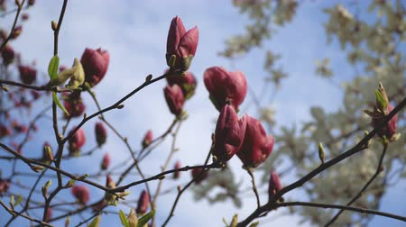tag : Beautiful pink flowers of magnolia bloom closeup in broad daylight on natural background Stock mozgókép