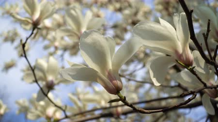 estames : White magnolia flowers on tree branch on background of blue sky