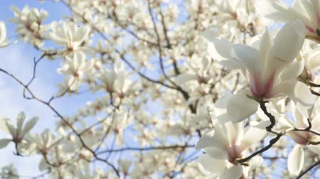 хрупкость : White magnolia flowers on tree branch on background of blue sky