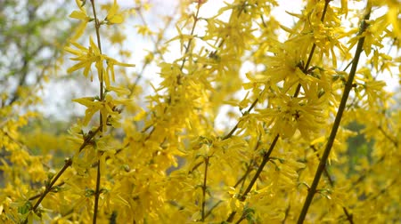 Forsythia bushes blossomed yellow flowers. Sunny spring day, the bush began to bloom yellow flowers. Beautiful bush in sunlight Stok Video