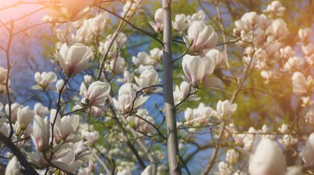 kırılganlık : White magnolia flowers on tree branch on background of blue sky