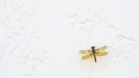 parede : Baby dragonfly poses on concrete wall, 4K