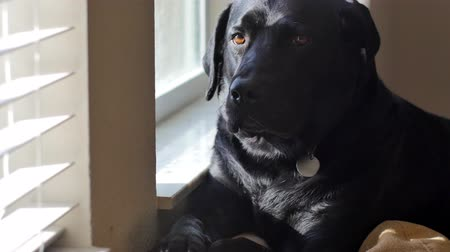 okno : Black labrador dozes off at window, 4K