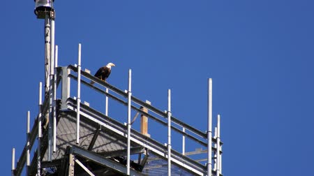 fészek : Bald Eagle perched on radio tower, 4K Stock mozgókép