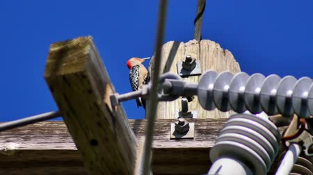 transmit : Red-Bellied woodpecker on top of telephone pole, 4K