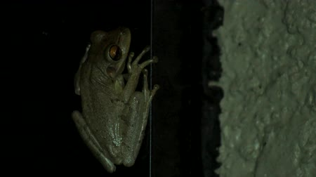 toad : Tree frog at night inside of porch, 4K