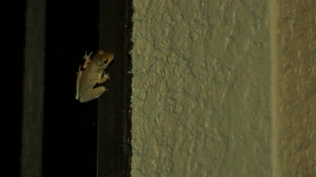 ropucha : Tree frog at night inside of porch, 4K
