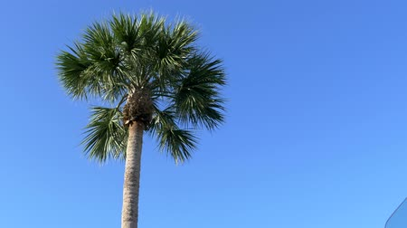 worms eye view : Low angle of Florida palm tree against clear blue sky 4K