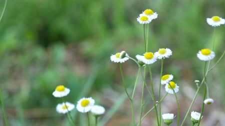 margarida : Small white wildflower blowing in breeze daisy flower 4K