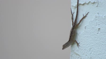 градиент : Common Florida Lizard on corner of stucco wall 4K
