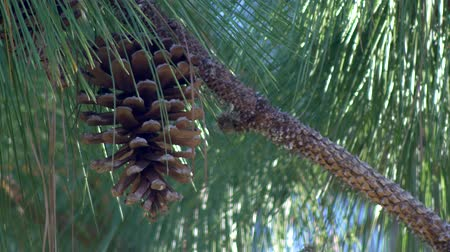 pinho : Single pine cone hangs from pine tree 4K