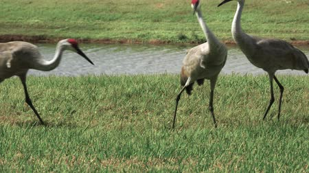 pštros : Two sandhill cranes chased off by a third establishing dominance