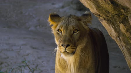 afrika : Young male lion emerges from behind rock and looks around