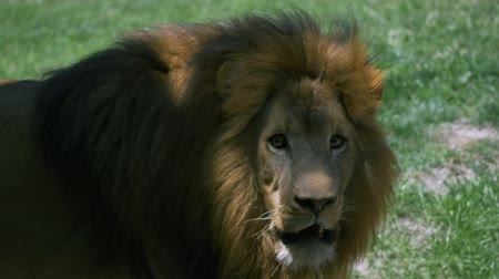 kotki : Adult male lion with large mane pacing back and forth