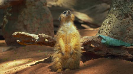 седые волосы : Meerkat from head to toe before he sits into frame