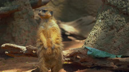 kürk : Meerkat looking around before whipping head to look behind