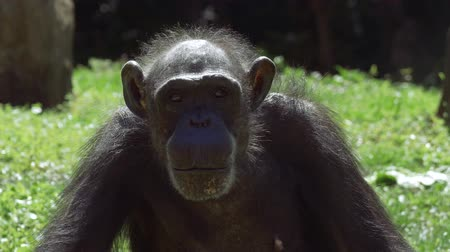 освещенный : Chimpanzee looks around before staring into camera