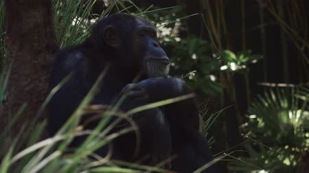 evolução : Chimpanzee gets up and walks with others