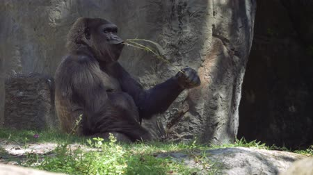 primaz : Gorilla sitting in shade and chewing on stick