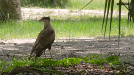 sas : Female Crested Caracara on the Ground Looking Around, 4K