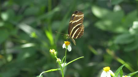 butterflies in the stomach : Zebra Longwing Butterfly Lands on White Flower, 4K Stock Footage