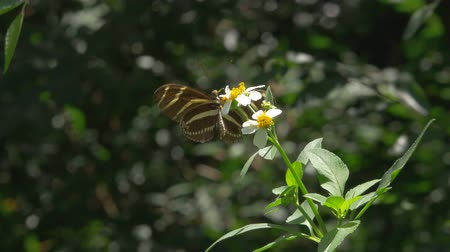 butterflies in the stomach : Zebra Longwing Butterfly Lands on White Flower Stock Footage