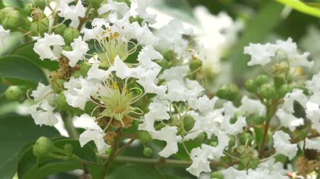 cr�¨pes : Close-up van White Crepe Myrtle Blossoms Stockvideo