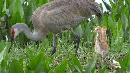 kuikens : Sandhill Crane Moeder Rebuilds Nest Terwijl Twee Chicks Stand Close, 4K Stockvideo