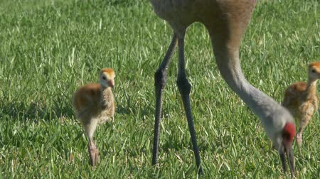 hnízdo : Sandhill Crane Chicks Follow Mom Through Grass, 4K